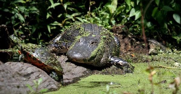 alligator and turtle food chain