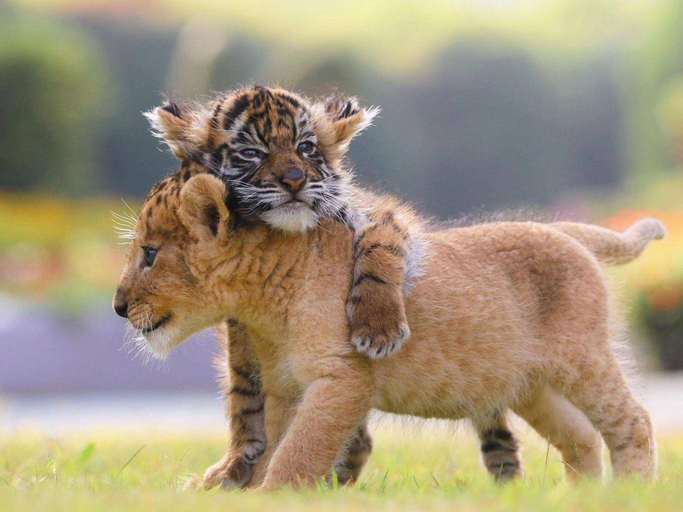 use deep learning to distinguish a lion from a tiger